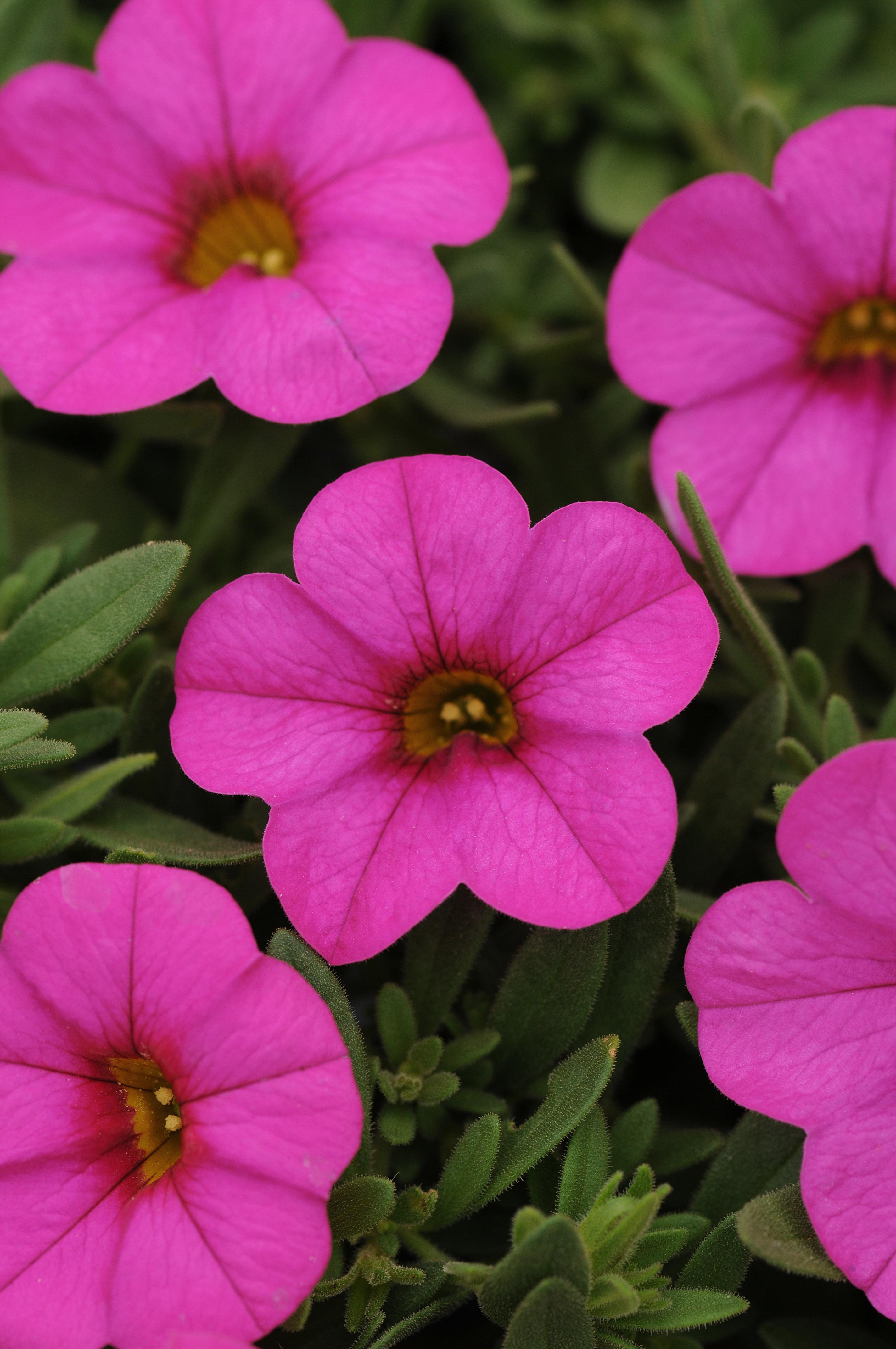 Calibrachoa_Kabloom_Deep_Pink_Bloom_2603