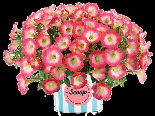 """Petunia Scoop Sweet Punch - 3.5"""" pot"""
