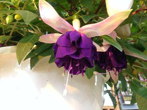 "Fuchsia Blue Angel 3.5"" pot"