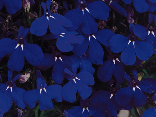 Lobelia Riviera Midnight Blue 6 pack