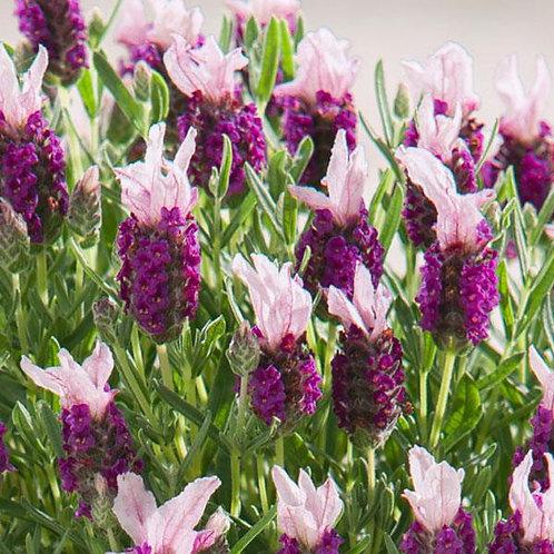Lavender Bandera Pink - Herb