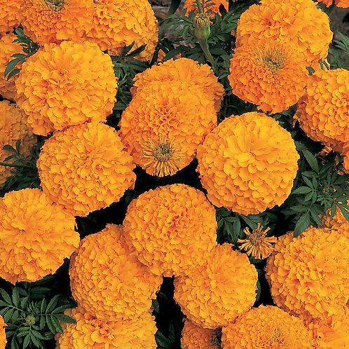 Marigold Inca II Orange 6 pack