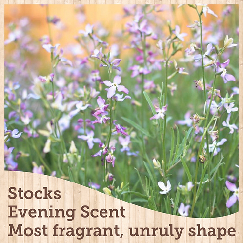 Stock Evening Scented Mix 6 pack
