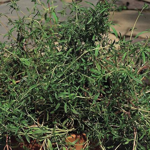 Summer Savory -Herb