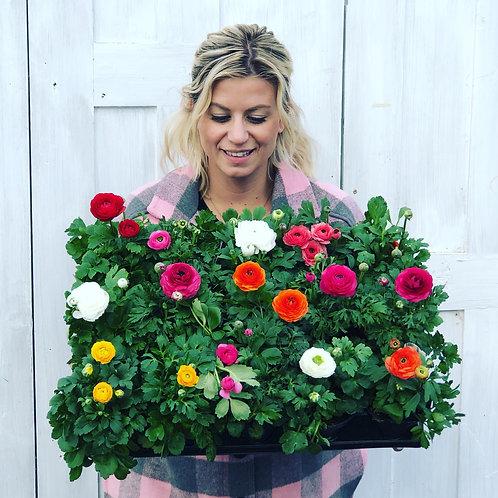 "Houseplant Ranunculus 4"""