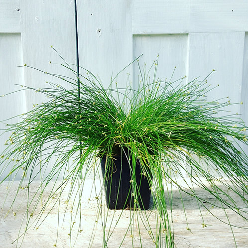 """Grass Isolepis Live Wire 3.5"""" pot"""