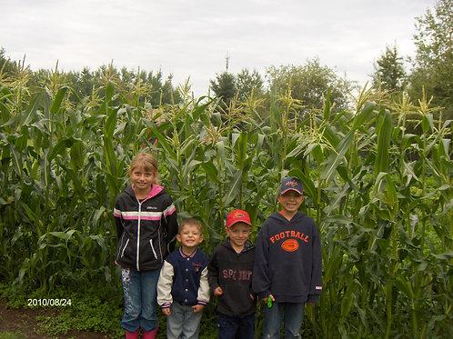 Corn {Secret Garden Seeds} 6 pack