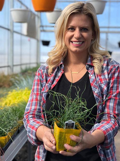 """Grass Juncus Twister {Curly Grass} 3.5"""" pot"""