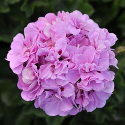 "Geranium Ivy Precision Lavender Blue 3.5"" pot"