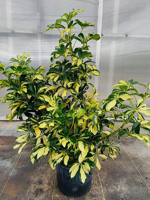 "10"" Schefflera, Arboricola Trinette Bush"