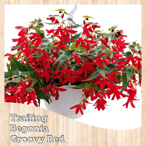 """Begonia Groovy Red 6"""" round pot"""