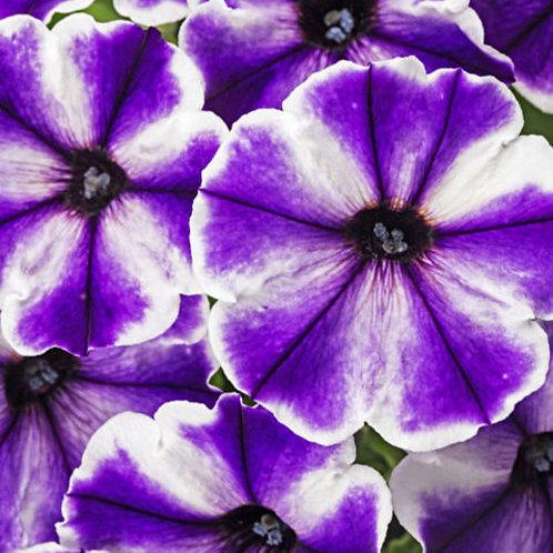 "Petunia Crazytunia Iced Berry - 3.5"" pot"
