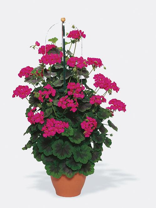 "Geranium Pillar Violet 6"" pot"