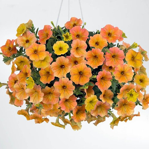 "Petunia Supertunia Honey - 3.5"" pot"