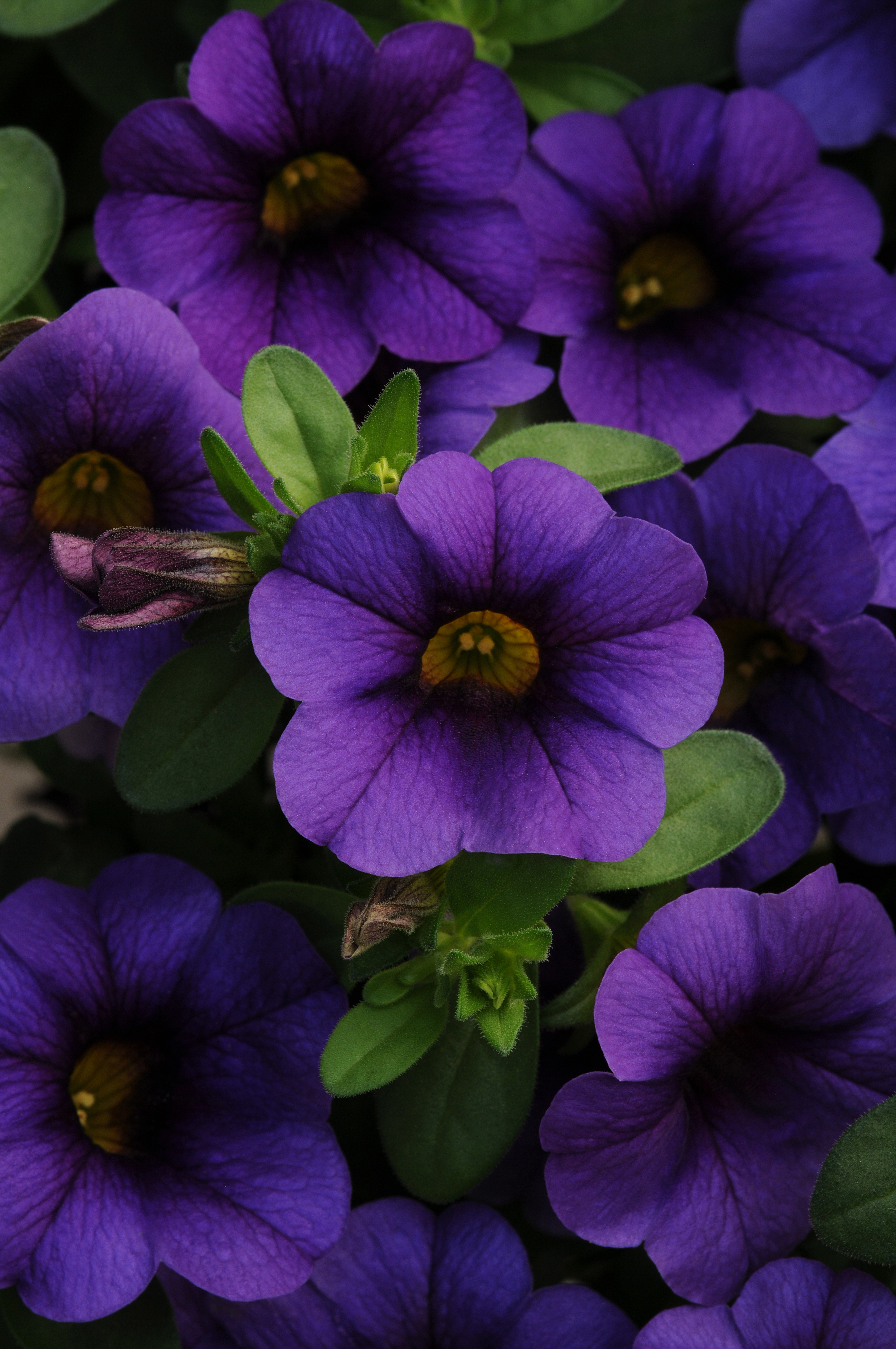 Calibrachoa_MiniFamous_Compact_Dark_Blue_Bloom_2558