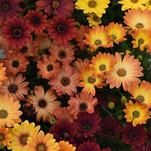 "Osteo Akila Sunset Shades 3.5"" pot"