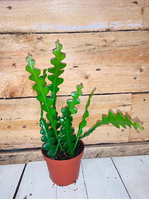 """4"""" Fishbone Cactus"""