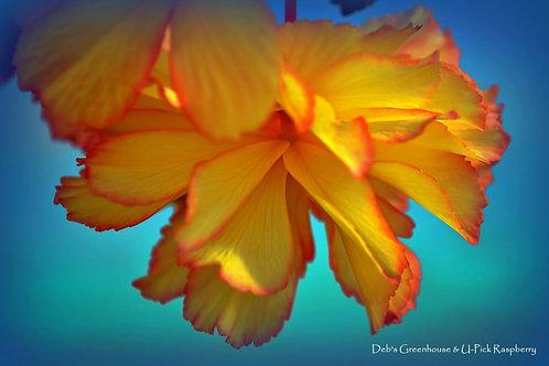 "Begonia Illuminations Apricot Shades 3.5"" pot"