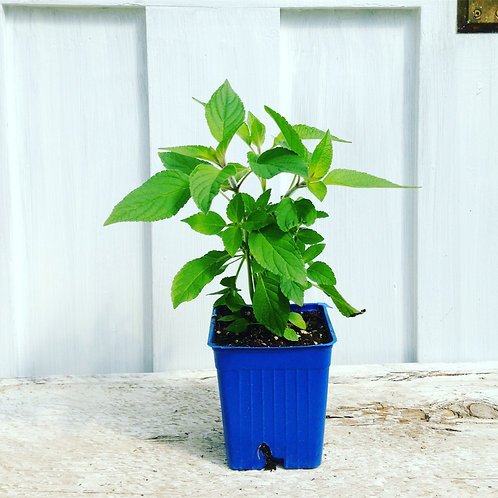 Sage Pineapple - Herb