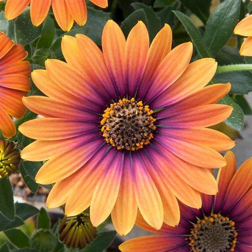 """Osteos Zion Purple Sun 3.5"""" pot"""
