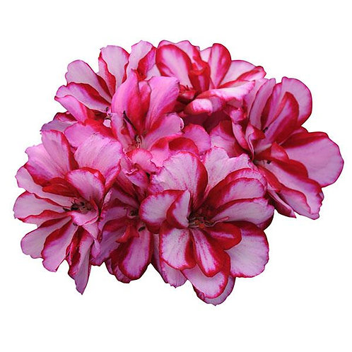 "Geranium Ivy Precision Burgundy Ice 3.5"" pot"