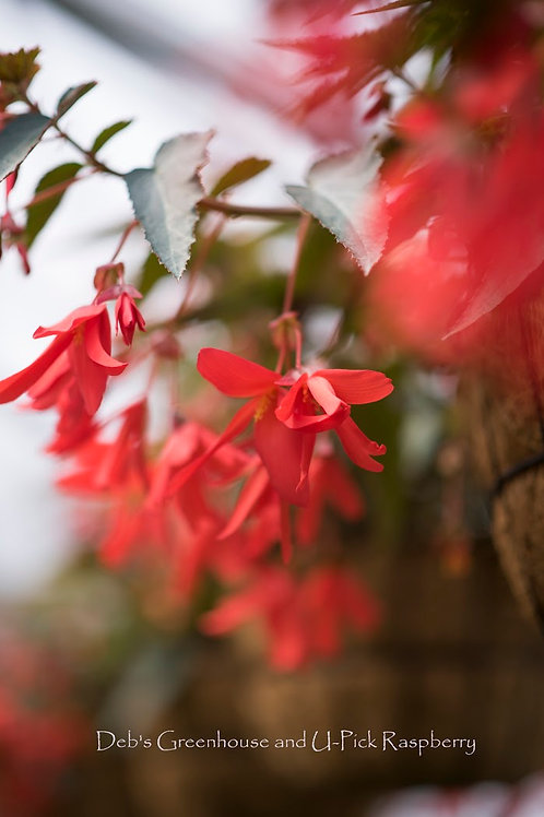 Begonia Million Kisses Devotion