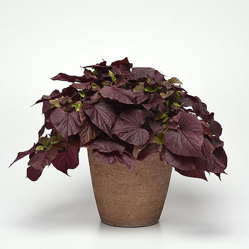"Ipomoea Potato Vine Red Heart 3.5"" pot"