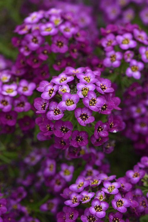 "Lobularia Purple 3.5"" pot"