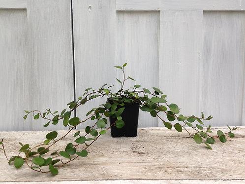 """Muehlenbeckia Sealand Large Leaf Vine 3.5"""" pot"""