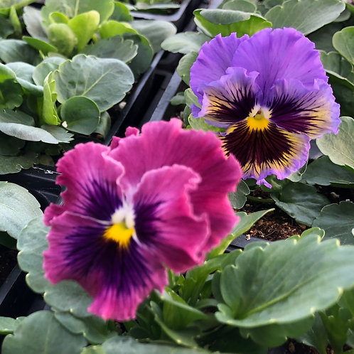 Pansy Frizzle Sizzle Mix 6 pack