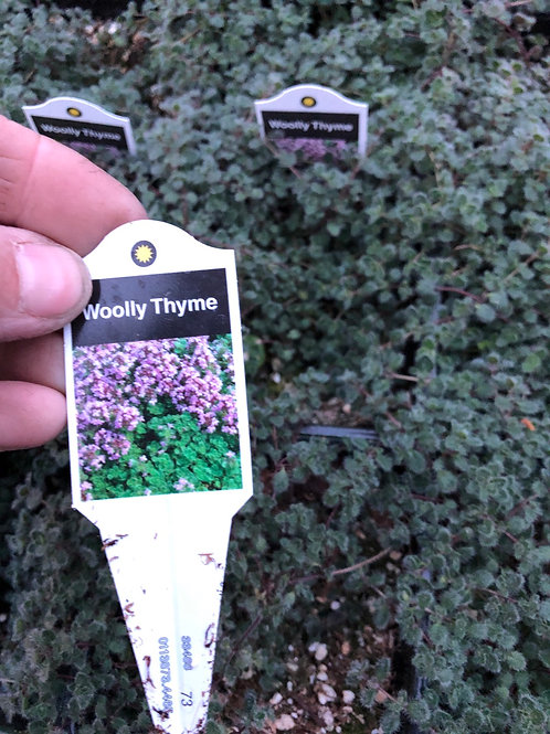 Tymus Wooly Thyme