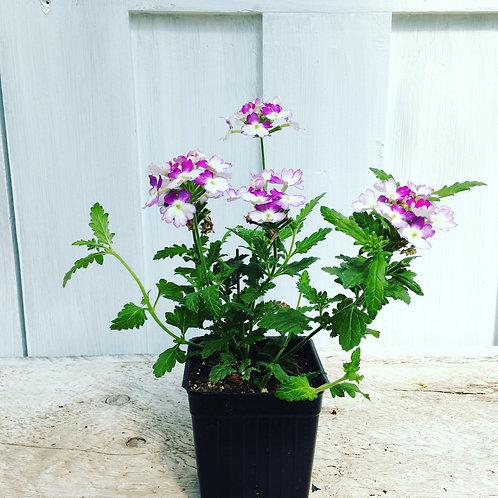 "Verbena Bebop Lavender 3.5"" pot"