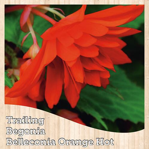 "Begonia Belleconia Orange Hot 6"" round pot"