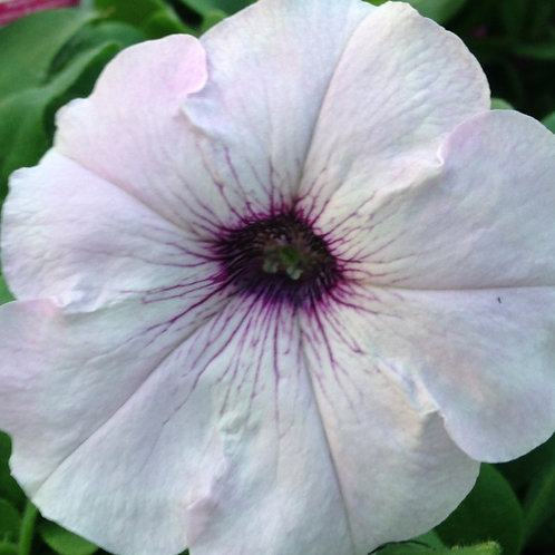 """Petunia Supertunia Vista Silverberry - 3.5"""" pot"""