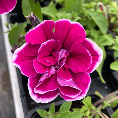 "Petunia Double Anna - 3.5"" pot"