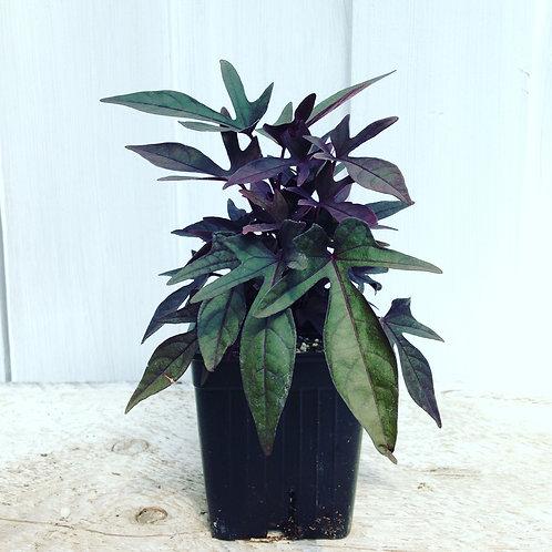 "Ipomoea Potato Vine Black Spiky 3.5"" pot"