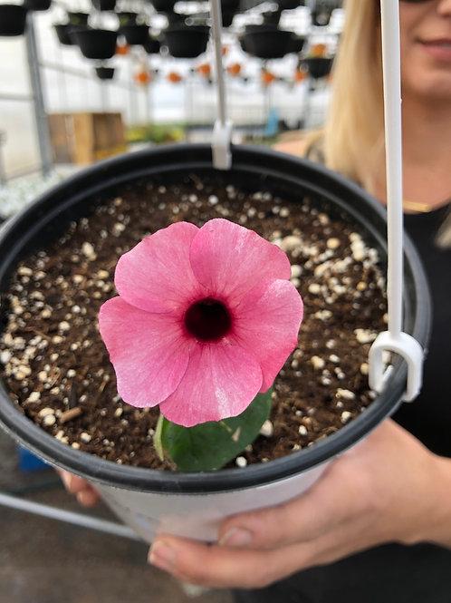 Thunbergia Sunny Susy Rose Sensation 1 gallon pot