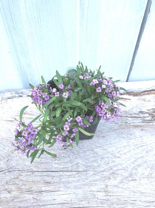 """Lobularia Lavender 3.5"""" pot"""