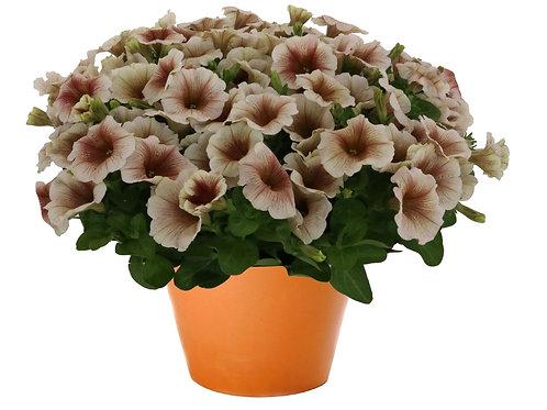 """Petunia Potunia Cappuccino - 3.5"""" pot"""