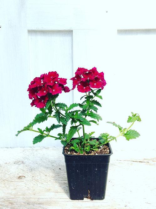"""Verbena Empress Burgundy 3.5"""" pot"""