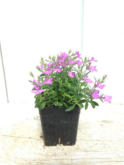 """Lobelia Bella Rosa 3.5"""" pot"""