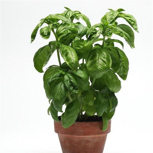 Simply Basil -Herb