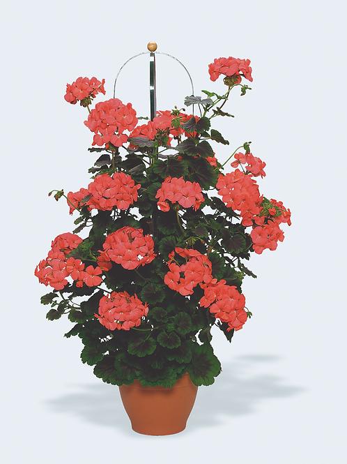 """Geranium Pillar Flame 6"""" pot"""