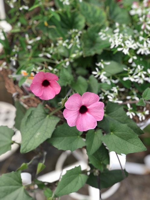 """Euphorbia Glitz {white poofy filler} 3.5"""" pot"""