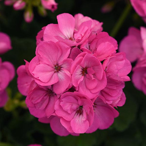"Geranium Zonal Sunrise Lilac Bright 3.5"" pot"