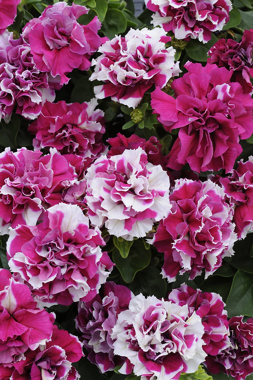 Petunia Double Madness Rose and White 6 pack