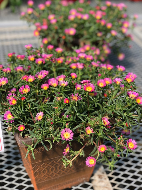 "Delosperma {Ice Plant} Pink 3.5"" pot"