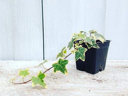 "English Ivy Goldchild Vine 3.5"" pot"