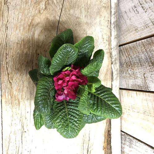 "Houseplant Assorted 4"" Primula"