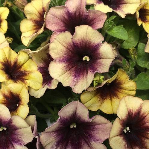 Petunia Cascadias Autumn Mystery 3.5